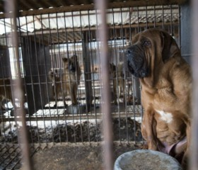 Dogs were rescued from a dog meat farm in Korea by the Humane Society