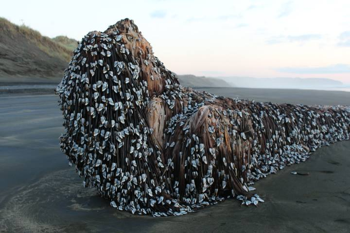 'Muriwai Monster' washes up on New Zealand beach