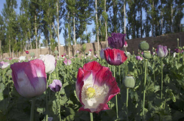 Poppy Flowers in Afghanistan