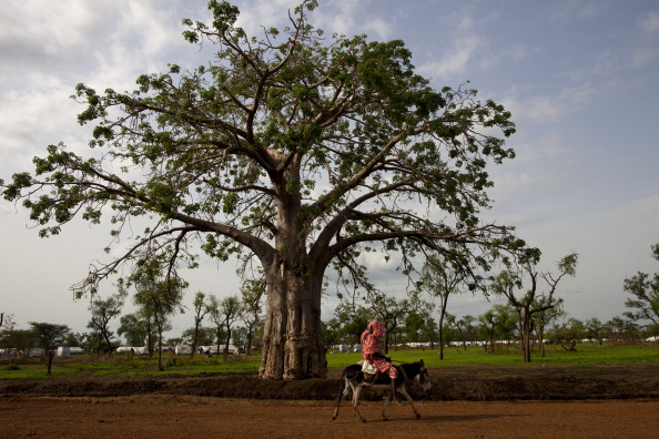 Trees in Africa that grow biofuels.