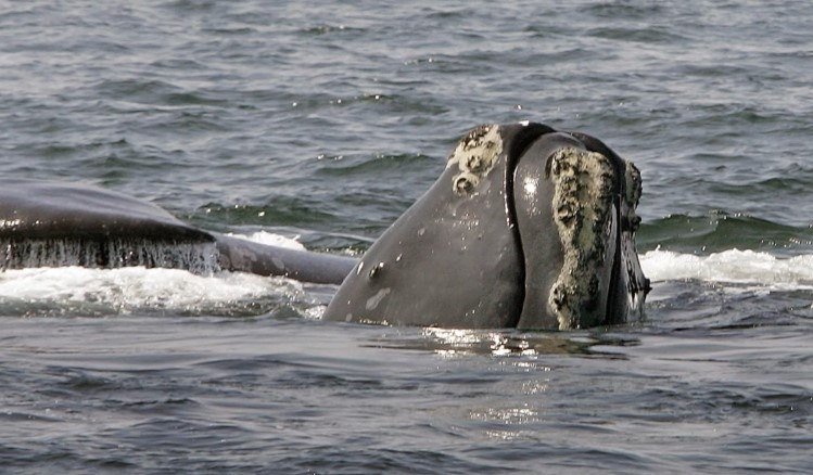 Researchers plan study on dead whale found in Cape Cod Bay