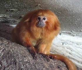 golden-lion-tamarin-endangered-species-list