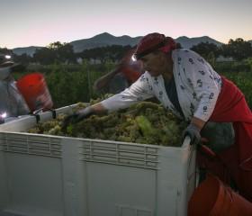 california agriculture grape vineyard