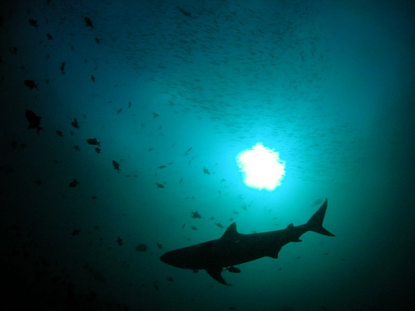 Study Shows Sharks Can Hunt With All Their Senses Altogether