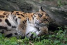 30-year-old Clouded Leopard at Chengdu Zoo