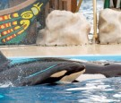 Baby Killer Whale Born At SeaWorld San Diego