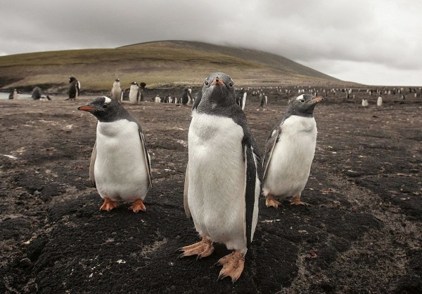 Magellanic penguins stand together on February 3, 2007 on Saunders Island, Falkland Islands.