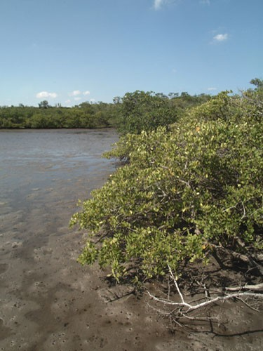 mangrove-trees-florida