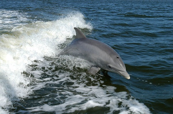 Study: Dolphins are Affected by Magnetic Fields